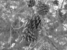 Pine Cones by SquirrelWitch