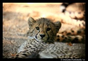 Baby Cheetah by TVD-Photography