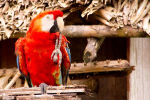 Scarlet macaw by AmblingPhotographer