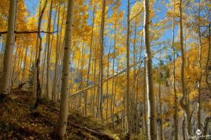 Sunshine and Gold Aspens by mjohanson