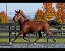 Definitely Standardbred by Goodbye-kitty975
