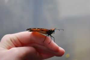 Monarch Butterfly Stock 5 by chamberstock
