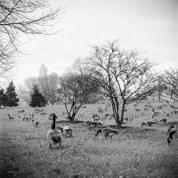 One Hundred Geese by jonniedee