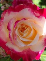 Pink and Yellow Rose by theNanna