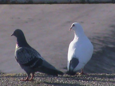 The Pigeon and The Dove by ztomboyz
