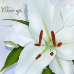 White lillies preview 5 by LucieG-Stock