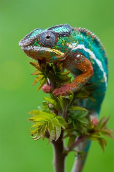 Chameleon in a tree by AngiWallace