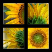 Sunflower by Sonny2005