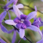 Petrea Volubilis by Kirs10c