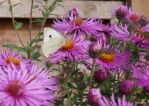 Flying among the Asters by ancoben