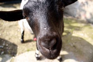 Wide angle goat by Alex-Br