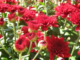 Red Mums by Neriah-stock