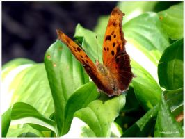 Eastern Comma by ImHisEternalAngel