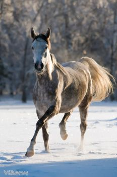 Arabian horse in winter by Vikarus