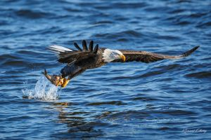 .:Eagle Fishing II:. by RHCheng