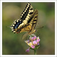 Old World Swallowtail by Rajmund67
