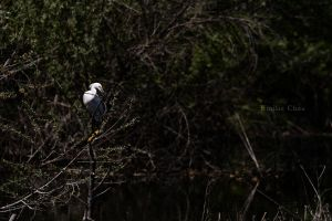13.04.26 Snowy Egret 01 by paleypeach