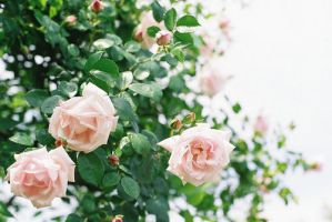 Roses by Kitty-Amelie