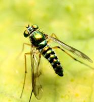 Another Fruit Fly by HalfBloodPrince71