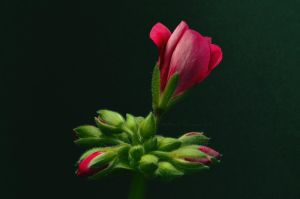 Pelargonie 01 by BiBiARTs