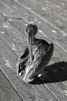 Pelican of Pismo Beach 2 by spiralout4