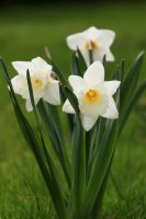 Narcissus pseudonarcissus by apcz