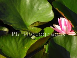 Water Lily 1 by Purplefantasticzebra