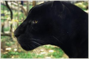 black jaguar. by Kairisia
