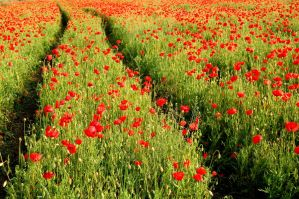 Red poppys by MagamAdom
