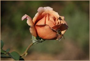 Julia's Rose Bud And Friend. by Firey-Sunset