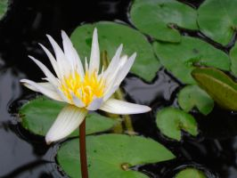 Water Lilly II by Monkpengossum