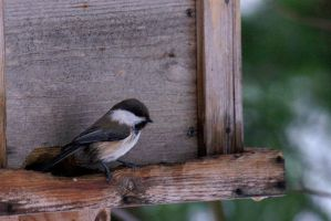 Siberian tit by Dunadan-from-Bag-End
