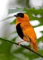 African Weaver Bird by NC-Photography