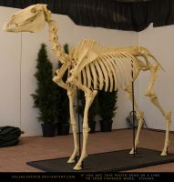 Horse Skeleton 2 by SalsolaStock