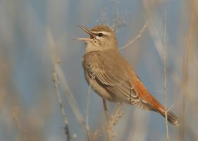 The singing bush - Rufous Bush-chat by Jamie-MacArthur
