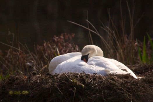 Swan on her nest by caillteone