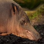 Mrs Babirusa by quaddie