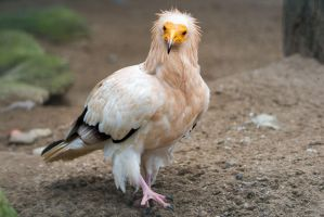 Egyptian Vulture by morgh-us