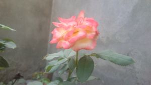 Red and White Rose by cyogesh56