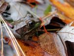 Fall frog by cyd