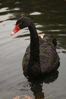 black swan swimming by Nexu4