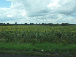 Field of sunflowers by Bianka98
