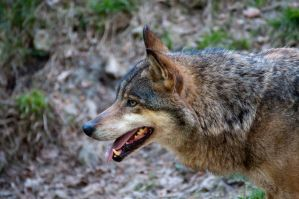 Wolf   Wildpark Knuell by Seafoxmccloud
