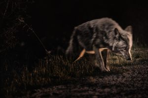 Upon You Stealthily the Coyote Creeps by AugenStudios
