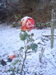 Frozen rose by Haleema-A