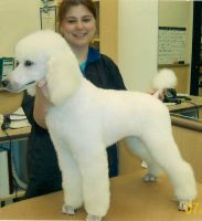 Standard Poodle Puppy by PoodleGroomer
