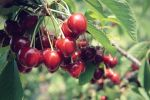 Cherry Picking by Project-Pestilence