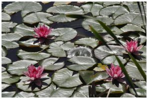 Water Lily II by DysfunctionalKid