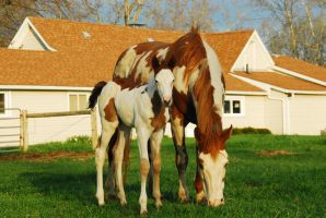 Standing Paint Horse mare and foal by elusiveelegance
