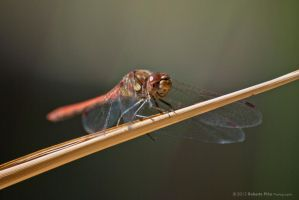 Dragonfly by RobertoPina